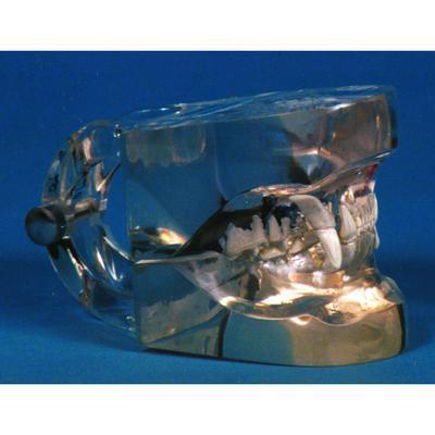 Transparent Canine/Feline Dental Models