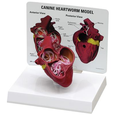 HEART MODEL J0773